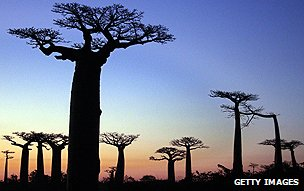 Baobabs in Madagascar