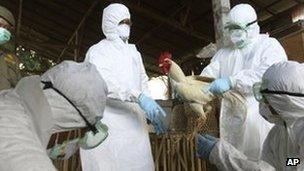Men in protective clothing capturing Bird Flu infected chicken