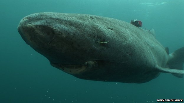 Greenland shark (c) NRK/Armin Muck