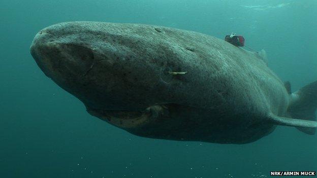 Greenland shark (c) NRK/Armin Muck