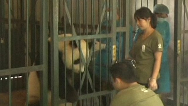 Panda ready for pregnancy check