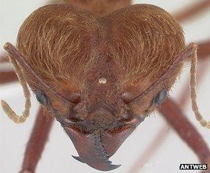 The leaf-cutter ant Atta cephalotes (c) AntWeb
