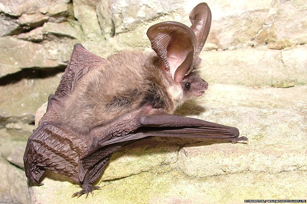 Grey long eared bat (c) R Crompton / Wildwood Ecology Ltd