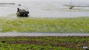 Green algae covers a beach in Qingdao, northeast China's Shandong province, 19 June 2012
