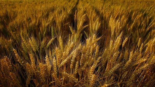 Wheat crops