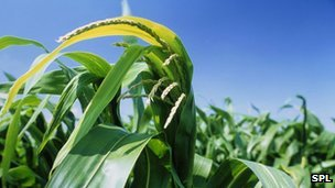 Genetically modified (GM) maize plants