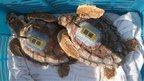 Tagged turtles