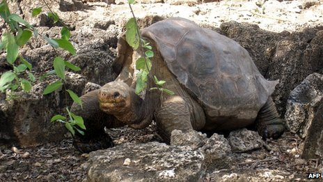 "Picture of ""Lonesome George"" taken on 21 July 2008 at the Breeding Centre Fausto Llerena of the Charles Darwin station in the Galapagos' Santa Cruz Island"