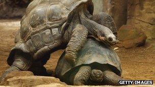 Giant tortoises mating