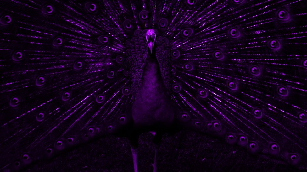 A peacock in UV light  c  T Pike. BBC Nature   Animal colour through animal eyes