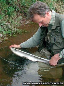 A salmon is measured before release