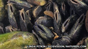 Freshwater pearl mussels in river