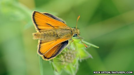 Male skipper butterfly