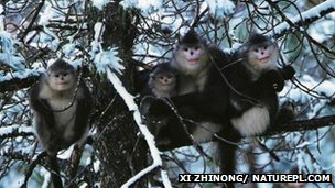 Snub-nosed monkeys in snow-covered tree