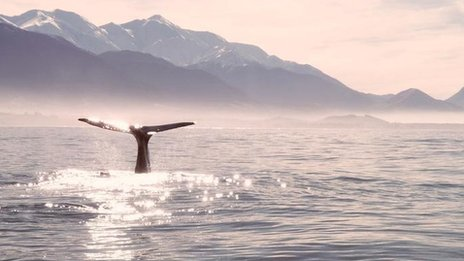 Sperm whale tail breaches at Kaikoura South Island New Zealand