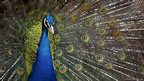 A displaying peacock