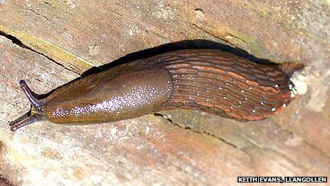 Spanish stealth slug