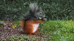 Red squirrel through a squirrel&#039;s eyes (top) and human eyes (bottom)