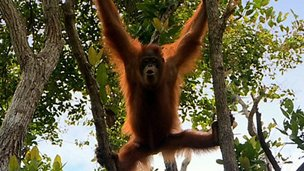 Orangutan climbing a tree