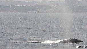 Gray whale sighted off Herzliya Marina