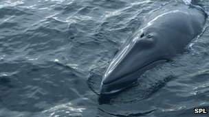 Minke whale poking its head out of the water (file photo)