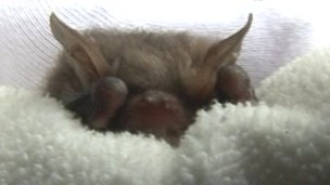 Bat in blanket