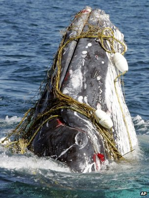 A whale entangled in a shark net off Australia&#039;s Gold Coast
