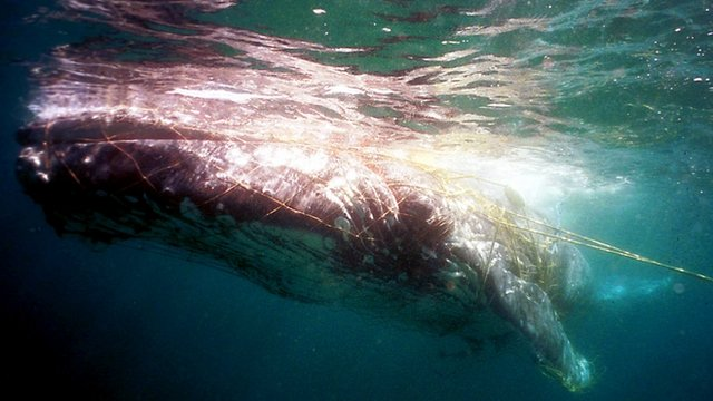 Whale entangled in fishing nets off the coast of Australia