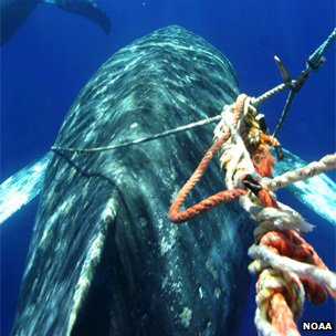 Using a &quot;flying knife&quot; to cut fishing ropes around a whale 