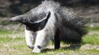 Giant anteater at Blackpool Zoo