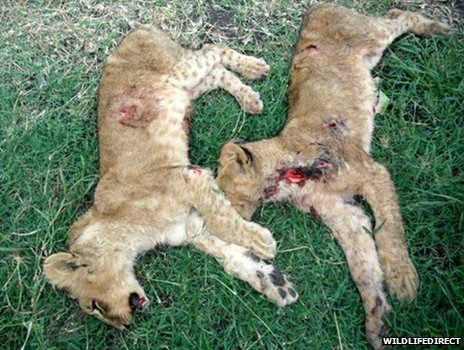 Two dead lion cubs