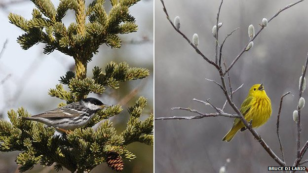 A blackpoll warbler and yellow warbler (c) Bruce Di Labio