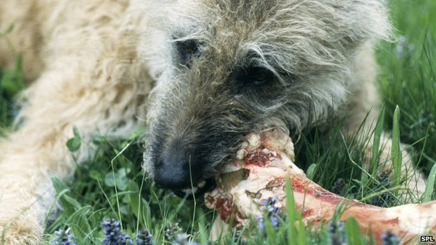 Dog gnawing a bone