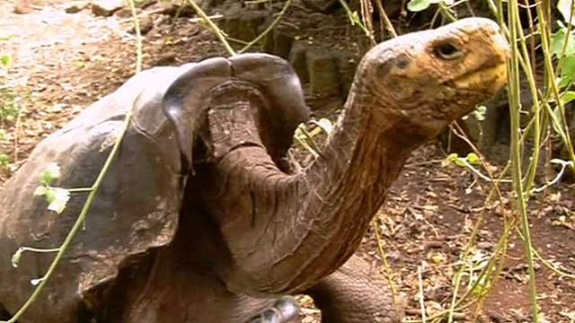 The centenarian tortoise