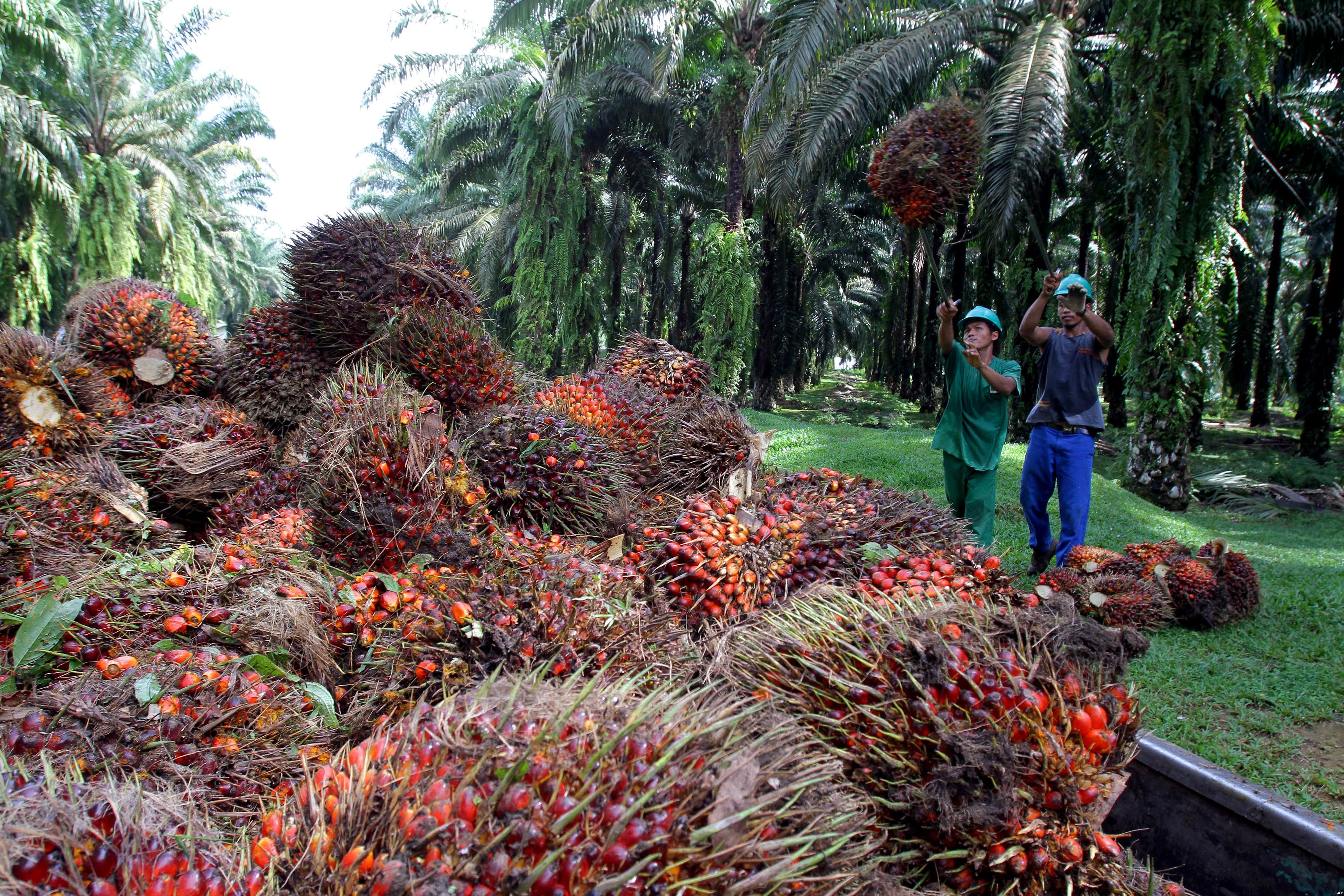 oil palm in malaysia Malaysia, the world's second-largest palm oil producer, is destroying large areas  of carbon-rich peat swamp forests to expand plantations,.