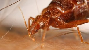 Close up of a bed bug
