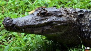 An alligator is seen at the National Biodiversity Institute on 31 May 2012 Heredia, Costa Rica