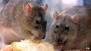 Rats nibbling discarded food