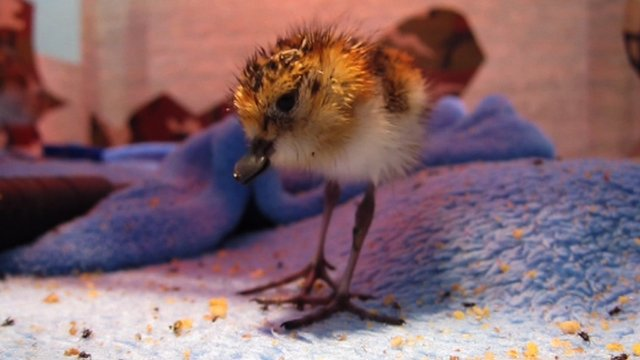 Spoon-billed sandpiper chick in captivity in the UK