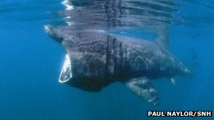 Basking shark. Pic: Paul Naylor/SNH