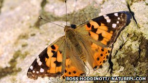 Painted lady butterfly on stone wall
