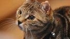 Tabby cat wearing collar with bell