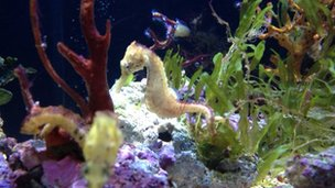 A sea horse at the Falmouth aquarium