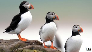 Puffins