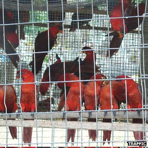 Cardinal lories in cage