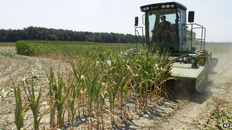 Steve Niedbalski chops down his drought and heat stricken corn for feed 11 July 2012 in Nashville, Illinois