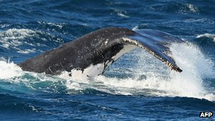 File photo: Humpback whale in Australia