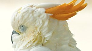 Yellow-crested cockatoo. Image: Olivier Caillabet / Traffic