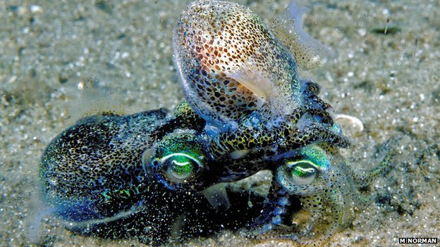 Dumpling squid mating