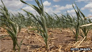 Dried corn in a drought-hit field